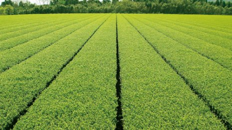 【健康特集】認知症予防の期待が高まる「緑茶カテキン」