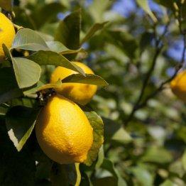紫外線対策にビタミンCたっぷりのレモンは正解か?