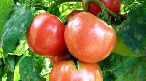 筋力の衰えが気になったらトマトを食べるのが効果的?