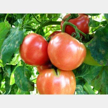 トマトには抗酸化物質が含まれる