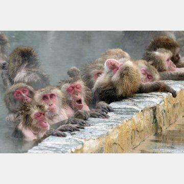 サルはヒートショックの心配はない!?