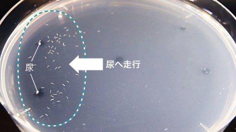 2020年1月に実用化「N-NOSE」 線虫が尿の匂いからがん検知
