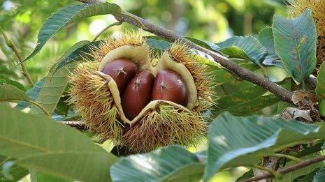 秋の味覚 栗はビタミンCも食物繊維もたっぷりで高い栄養価