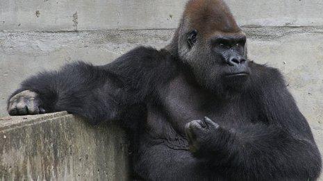 ゴリラやチンパンジーにはあるのに…