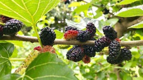 桑は数千年前から「漢方」として使われた栄養価の高い果実