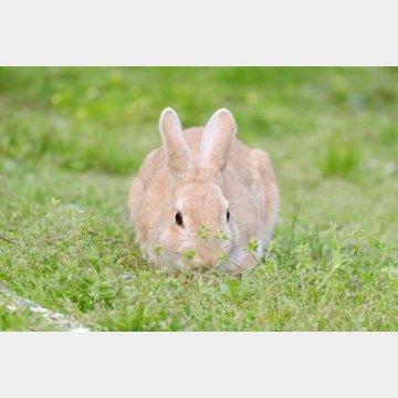 「野兎病」は野ウサギが減り幻の病気に