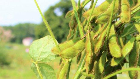 毛が生えた豆「毛豆」は今が旬! 枝豆観が変わるウマさ